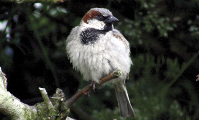 A sparrowhawk fledgling