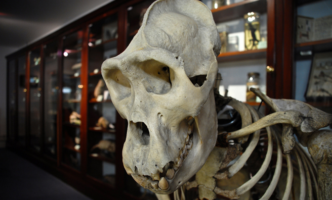 Skeletal remains at the Dundee Zoology Museum