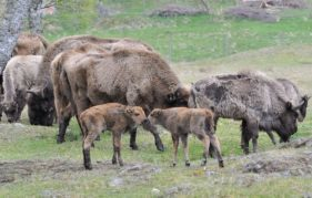 Two of the new arrivals at RZSS Highland Wildlife Park - two European bison calves. Photo courtesy of RZSS