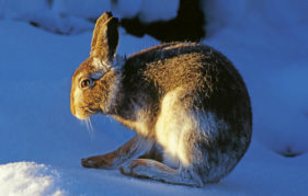 A mountain hare with intermediate coat