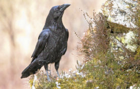 It's never a dull life when a raven's about