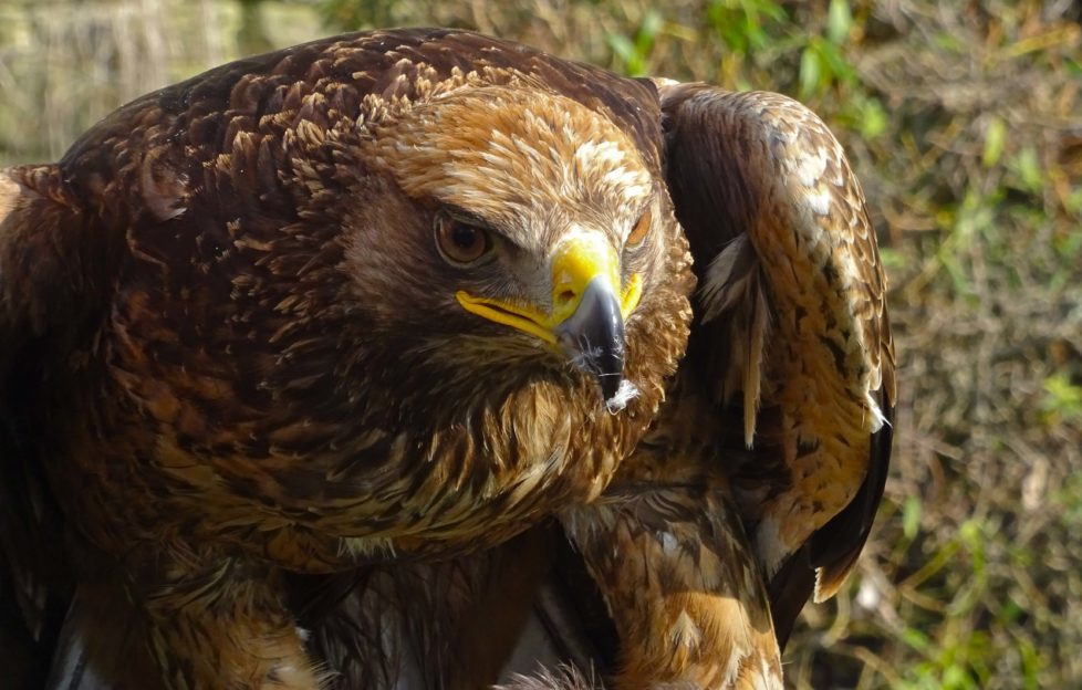 Head of the Big Five and Scotland's national bird - will you see one? Pic: David Findlay