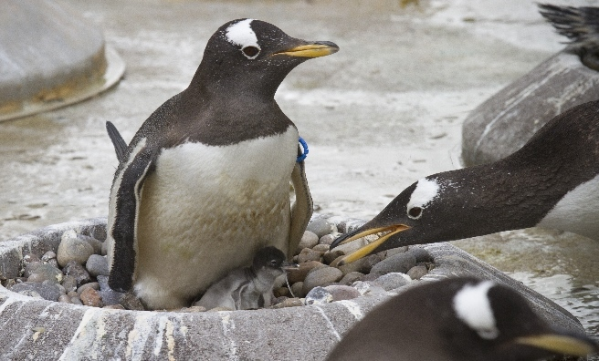 Dad says hello to his first chick! Photo courtesy of Royal Zoological Society of Scotland