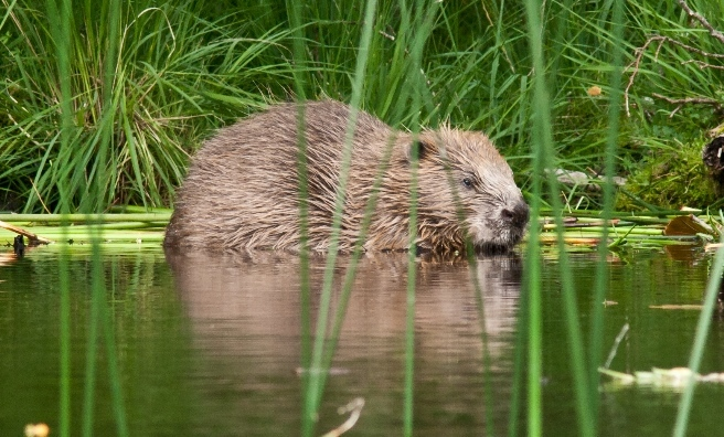 An adult beaver takes a dip in one of Scotland's waterways.