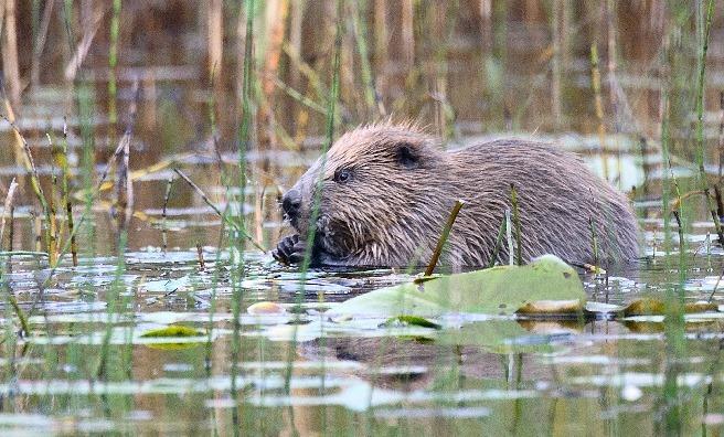 Beavering away! Photo by Rob Munro