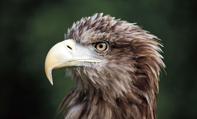 White tailed sea eagle (Pic: Alamy)
