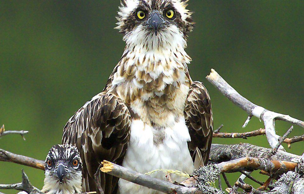 Jim Crumley goes on osprey watch on p34. Pic: David Tipling
