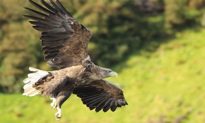 A majestic sea eagle in flight (Pic: Blomerus Calitz)