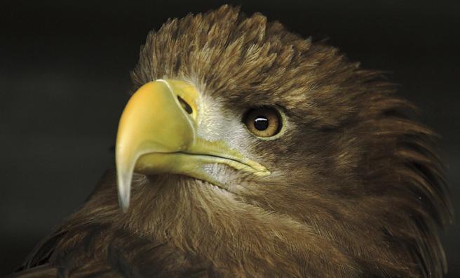 Sea eagle close-up (Pic: Shaun)