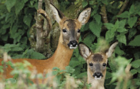 Mother and fawn keeping a watchful eye
