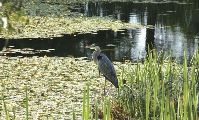 A heron surveys its domain