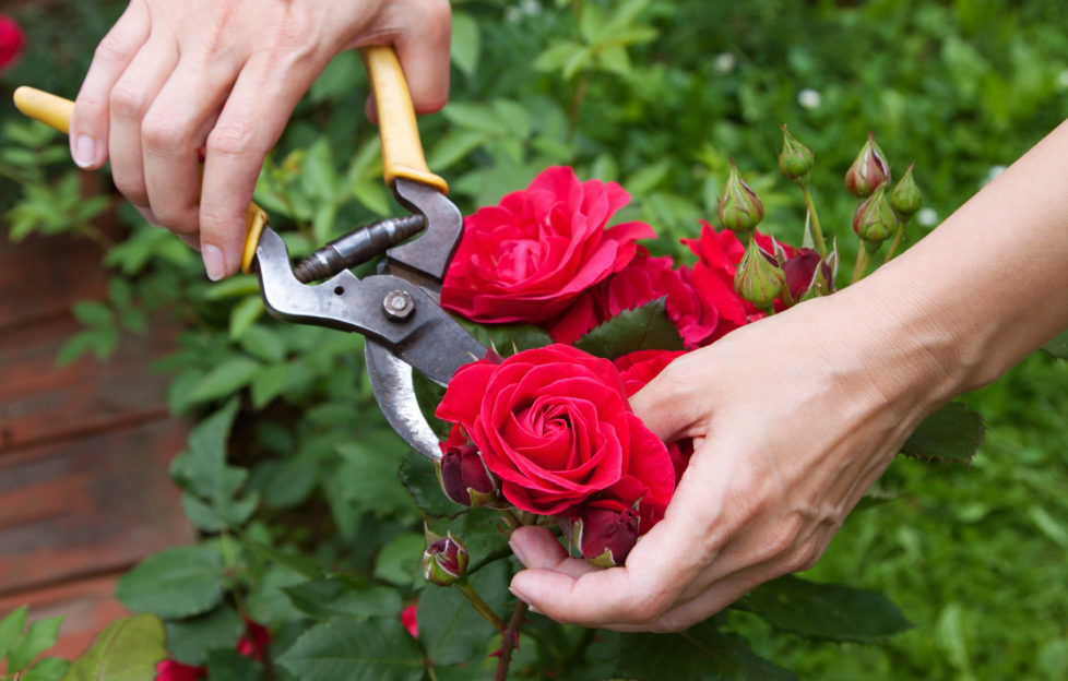 When using cut roses, warm water will help tightly closed flower heads to open. Pic: Shutterstock