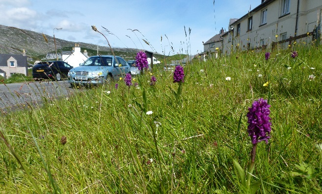 A wild flower festooned verge on Harris. Photo courtesy of Plantlife