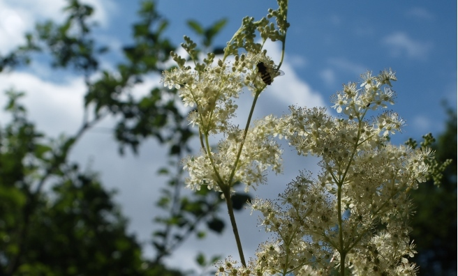 Meadowsweet likes roadside verges just as much as meadows. Photo courtesy of Andrew Gagg / Plantlife