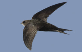 Swifts and humans make ideal company