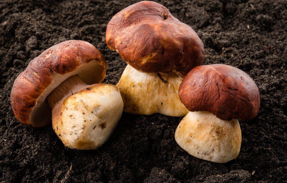 Porcini mushrooms growing wild. Pic: Shutterstock