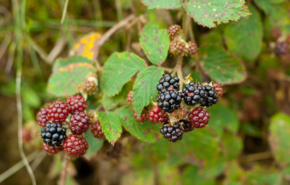 These wee gems of the hedgerows are incredibly versatile. Pic: Shutterstock