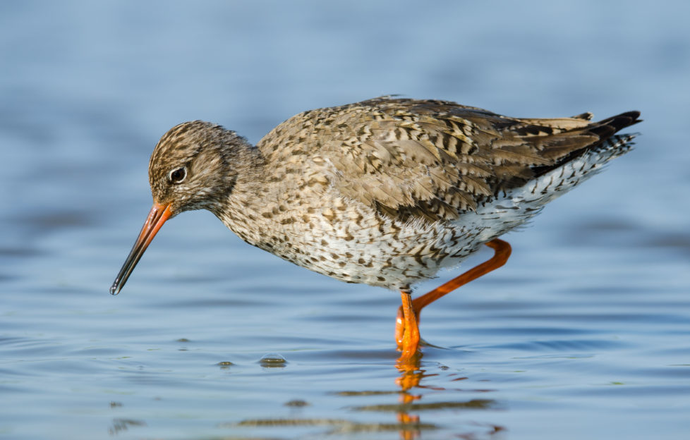 The well-named redshank wading in the shallows. Pic: Shutterstock.