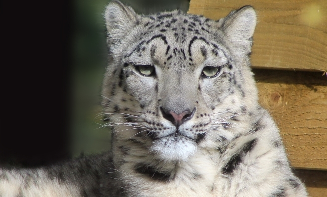Animesh, the female snow leopard at the Highland Wildlife Park. Photo by Katie Paton/RZSS