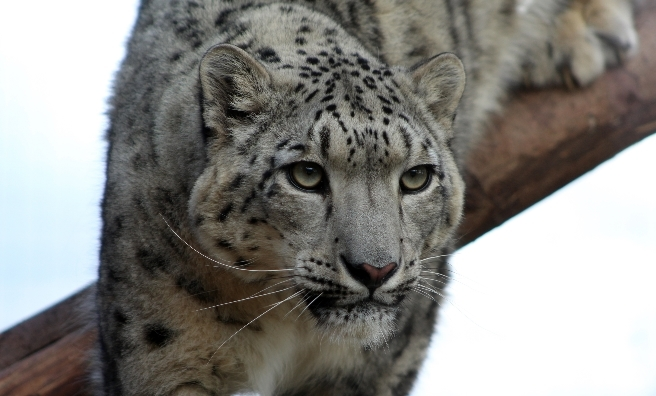 Chan, the male snow leopard at the Highland Wildlife Park. Photo by Katie Paton/RZSS