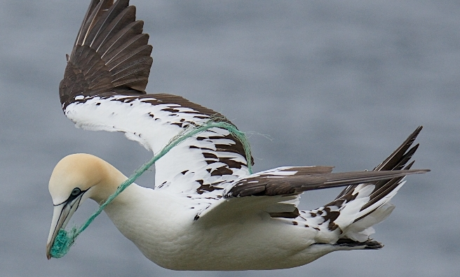 Gannet by Charlie Davidson. Courtesy of Scottish Seabird Centre Nature Photography Awards