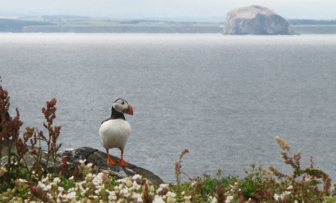 Lonely Puffin by Anna Smart. Courtesy of Scottish Seabird Centre Nature Photography Awards
