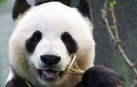 Find out about the science of Panda Breeding at Edinburgh Zoo during Edinburgh International Science Festival. Photo courtesy of RZSS