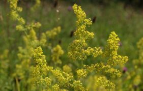 Ladies Bedstraw, a meadow-loving wild flower. Photo by Andre Gagg, courtesy of Plantlife