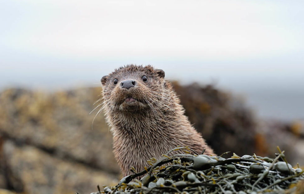 "Otters pop up to say ""Hello!"" on Mull. Pic: Laurie Campbell"