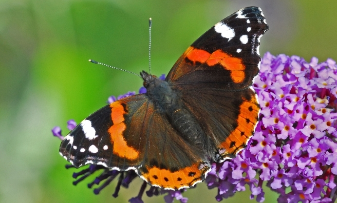A beautiful Red Admiral. Photo by Jim Black