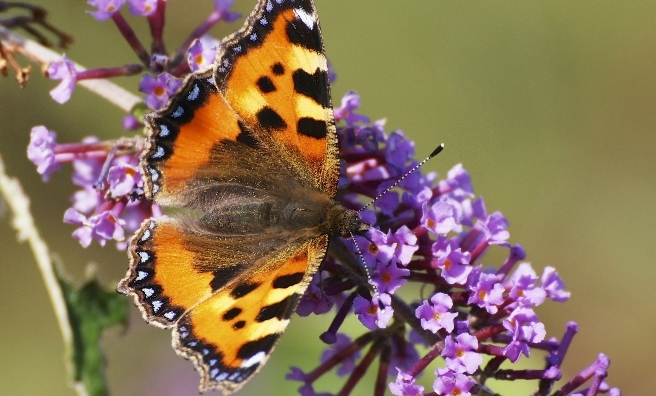 A Small Tortoiseshell. Pic by Ian A Kirk for Butterfly Conservation