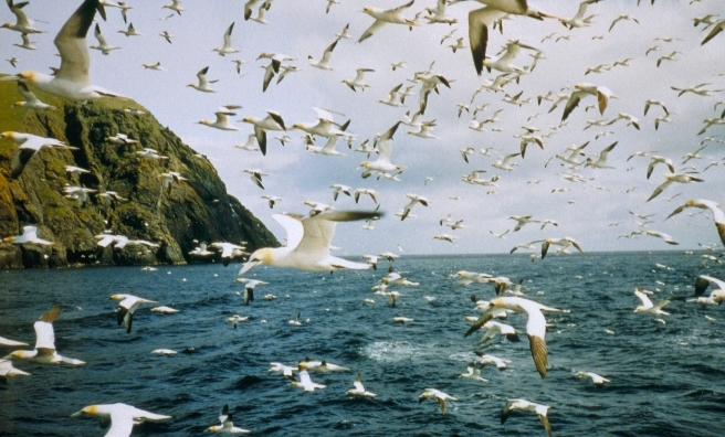 St Kilda - a magnet for seabirds. Pic courtesy of National Trust for Scotland