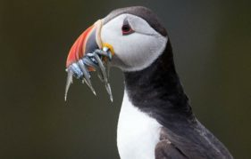 Neil Henderson's winning puffin photo