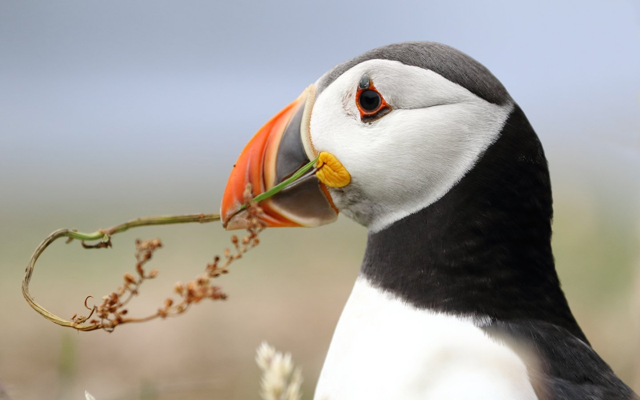 """Nest building puffin in Lunga for breeding season."" Gary Chittick, @gbc123 on Instagram."