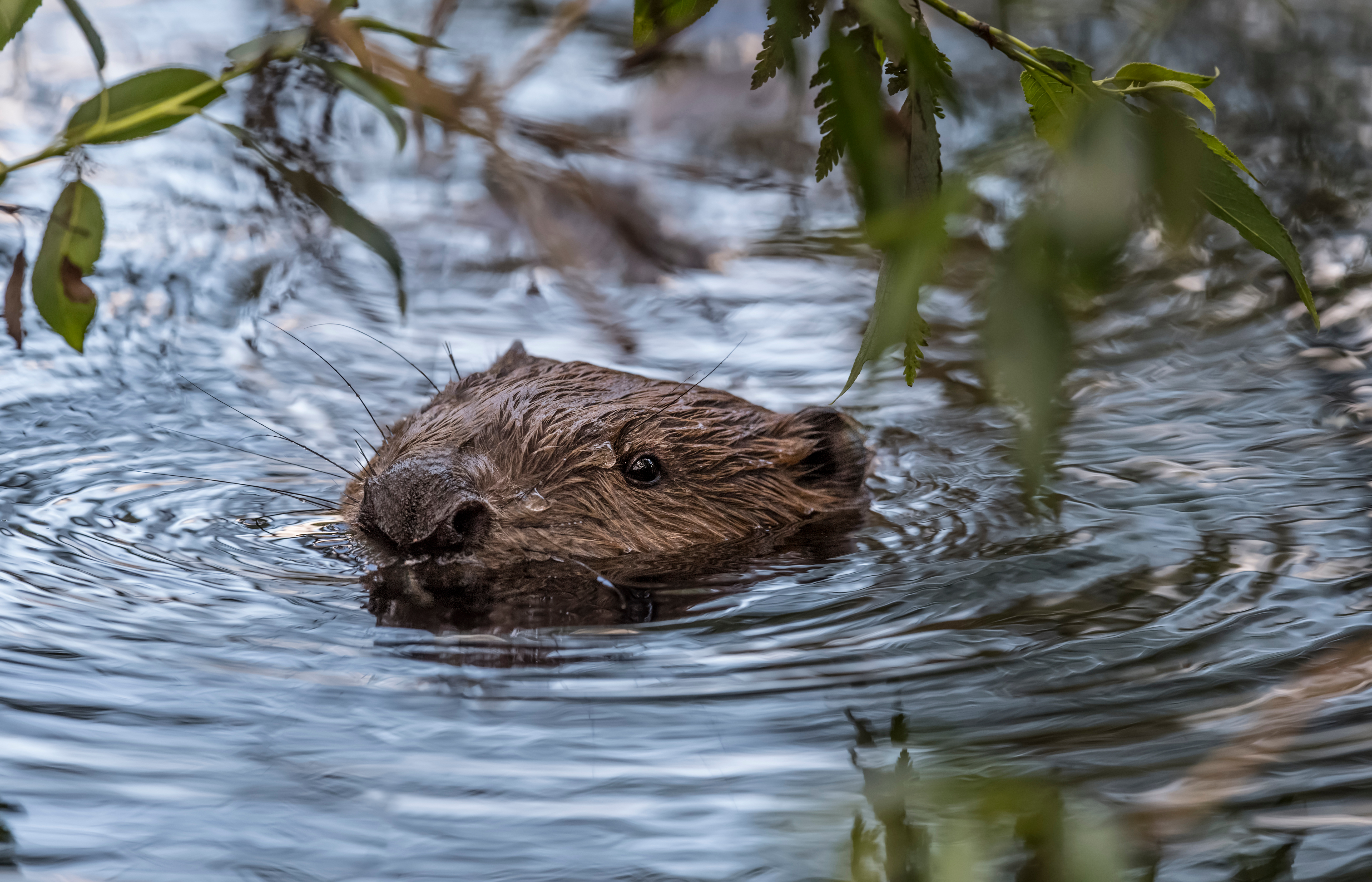 Spot the otters for Walk This May!