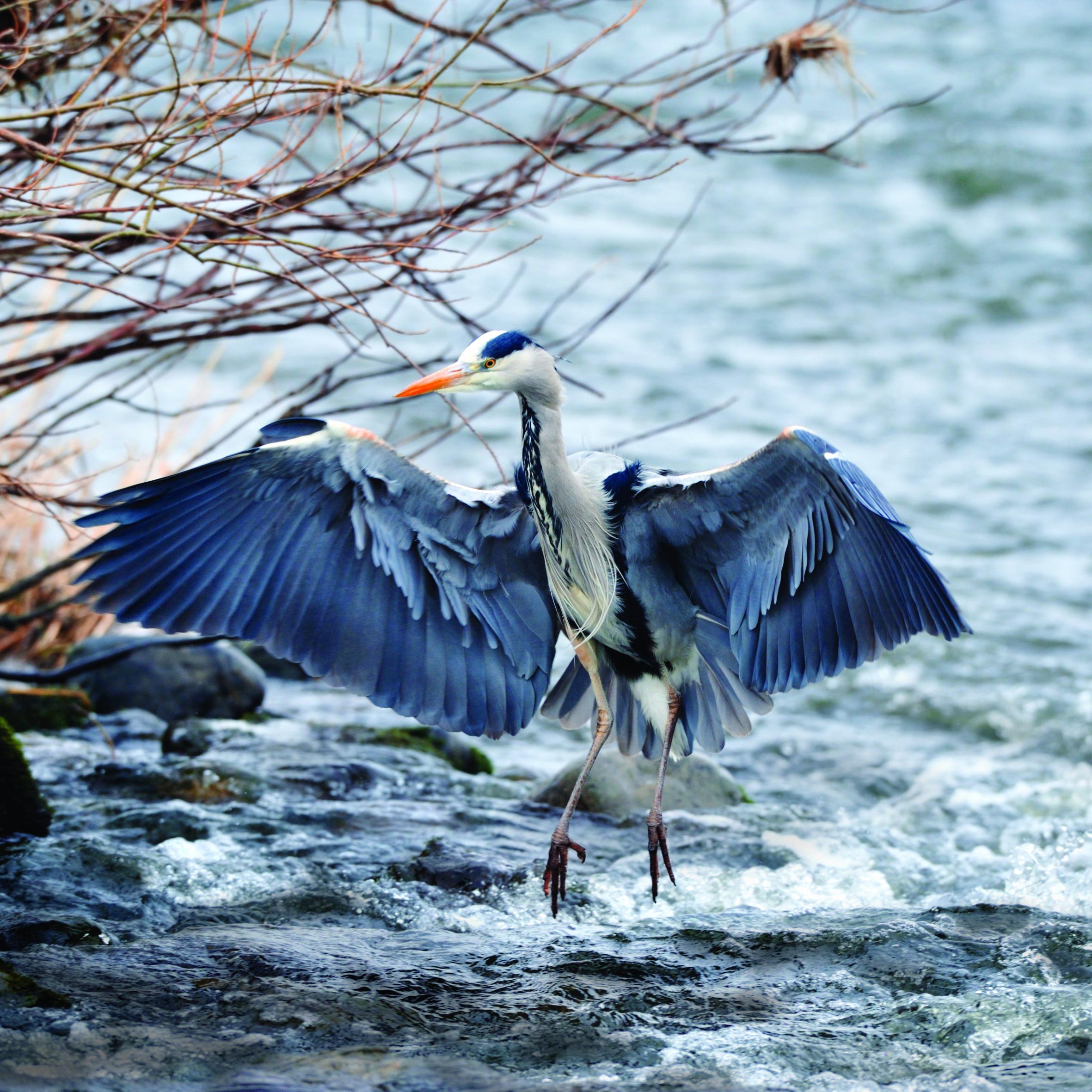 herron in kingfisher piece
