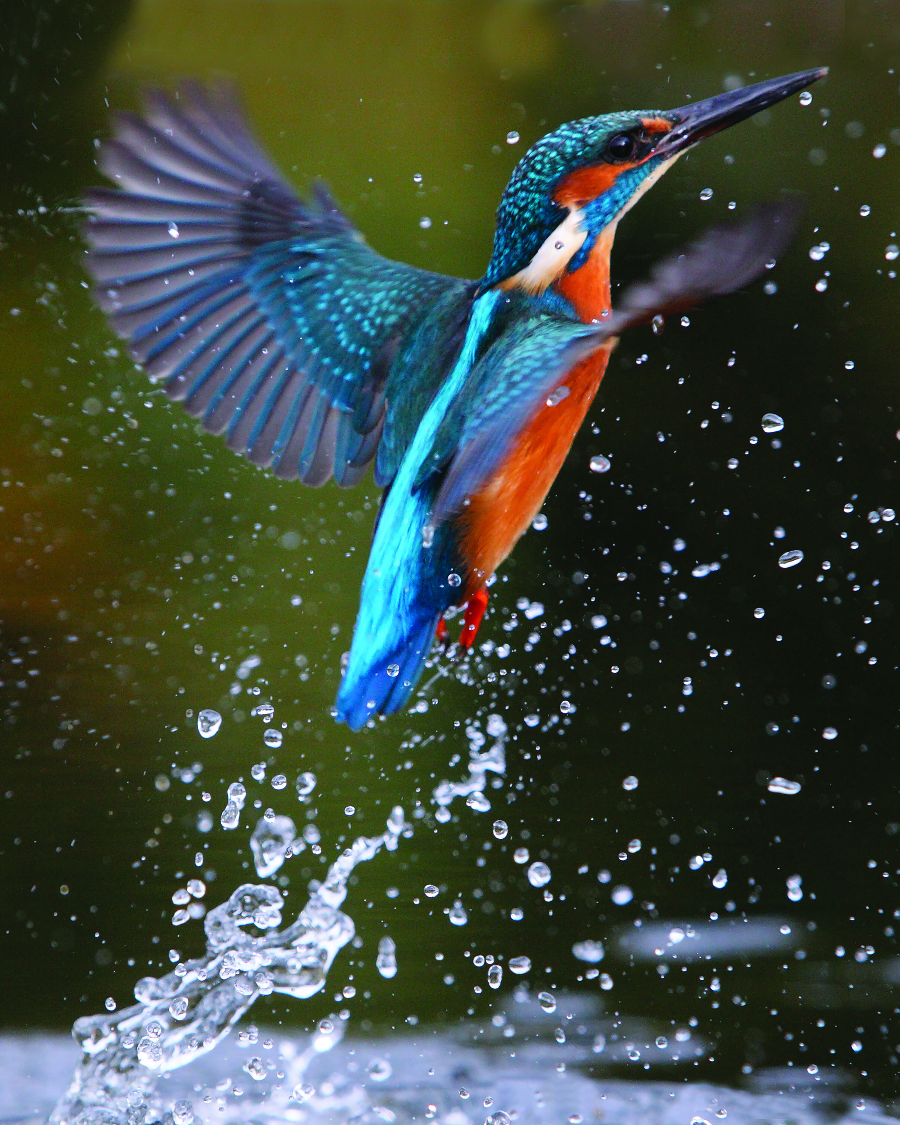 The kingfisher tears upstream! Pic credit: Laurie Campbell.
