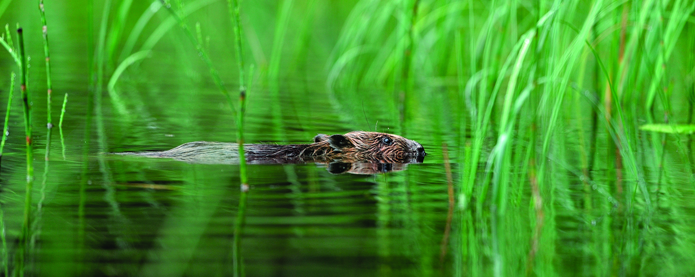 A creature of uncanny wisdom. Pic credit: Laurie Campbell. european beaver