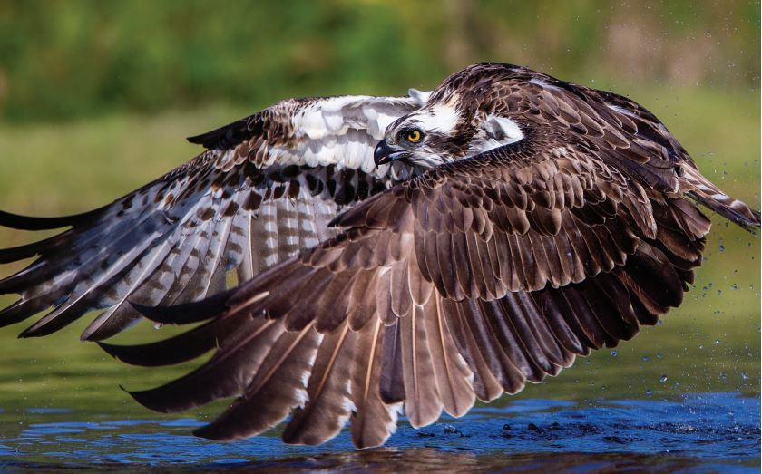 Protecting the Osprey in action