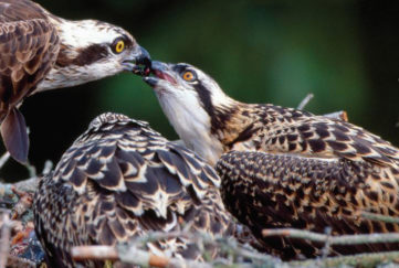 Protecting the Osprey