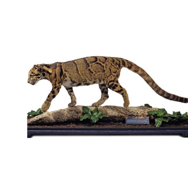 The leopard. Kelvingrove Museum