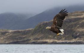 White-tailed eagle also known as Sea Eagles