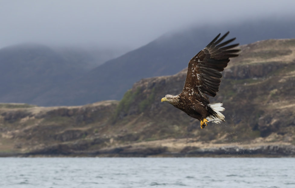 White-tailed eagle also known as Sea Eagles