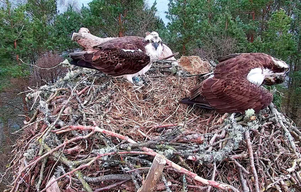 ospreys reunite