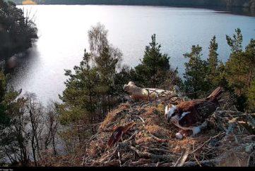 Osprey with third egg
