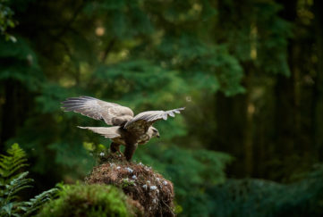 a buzzard taking flight