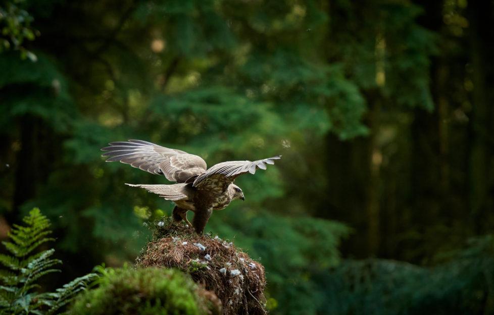 a buzzard taking flight
