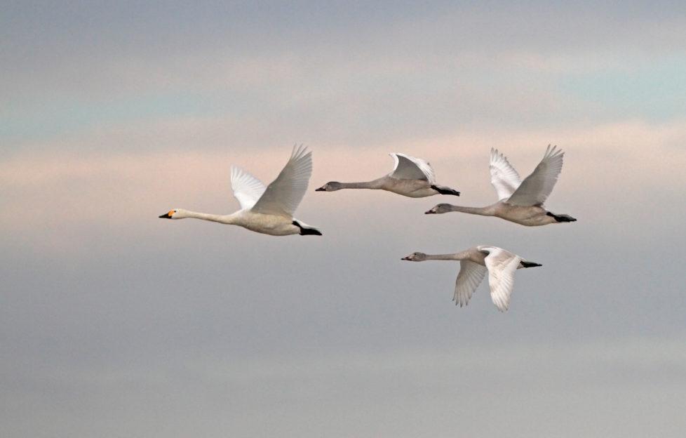 bewick's swans in migration flight