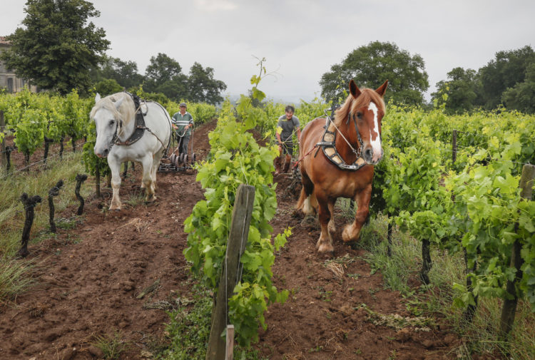 Horse plowing in Chateau Le Puy vineyard. On this picture : Anne-Sophie and Eric, who own the horses (Unique in white and Theo in brown).