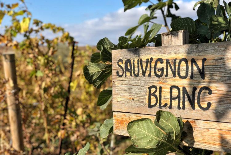 Sauvignon Blanc - Rikur B - Shutterstock